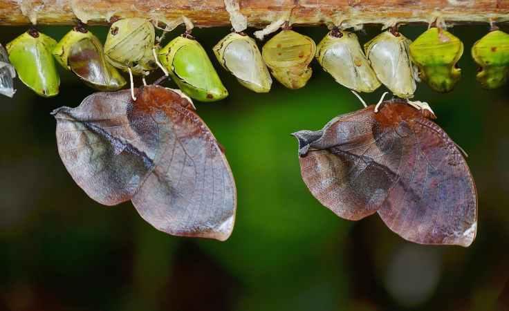 cocoons-butterflies-larva-larvae-57392.jpeg