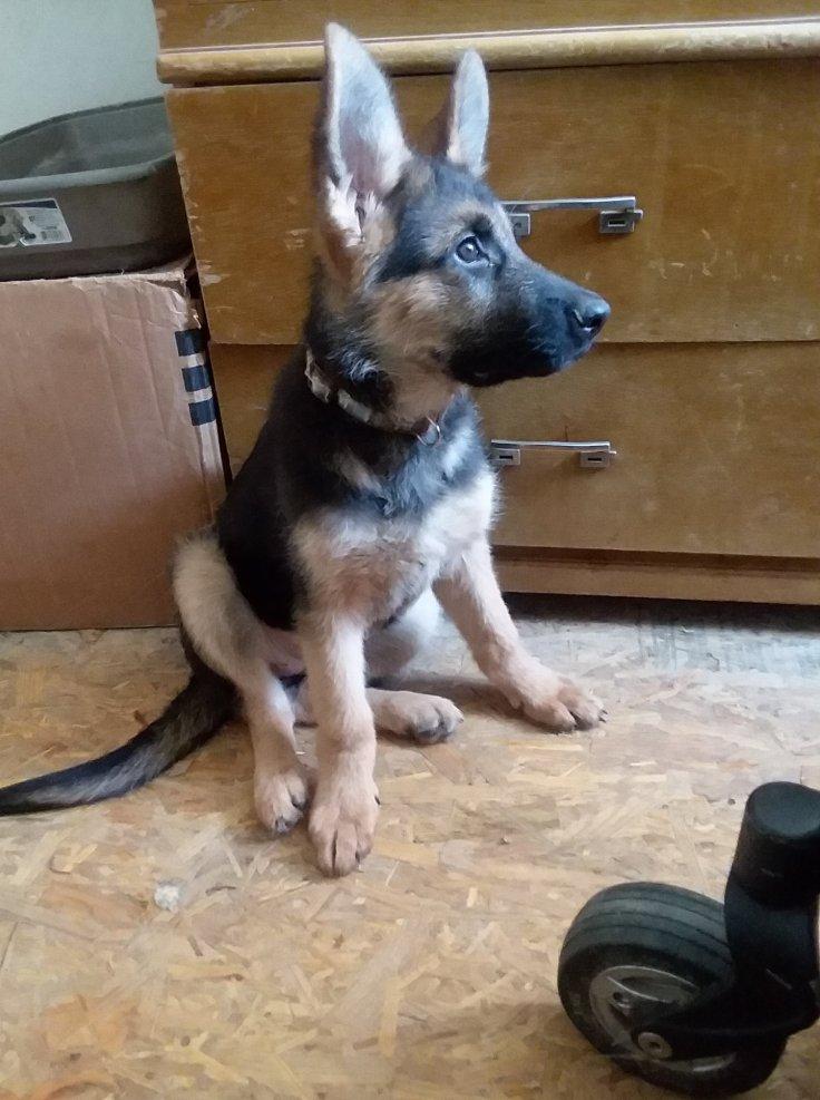 Pixie 13 weeks